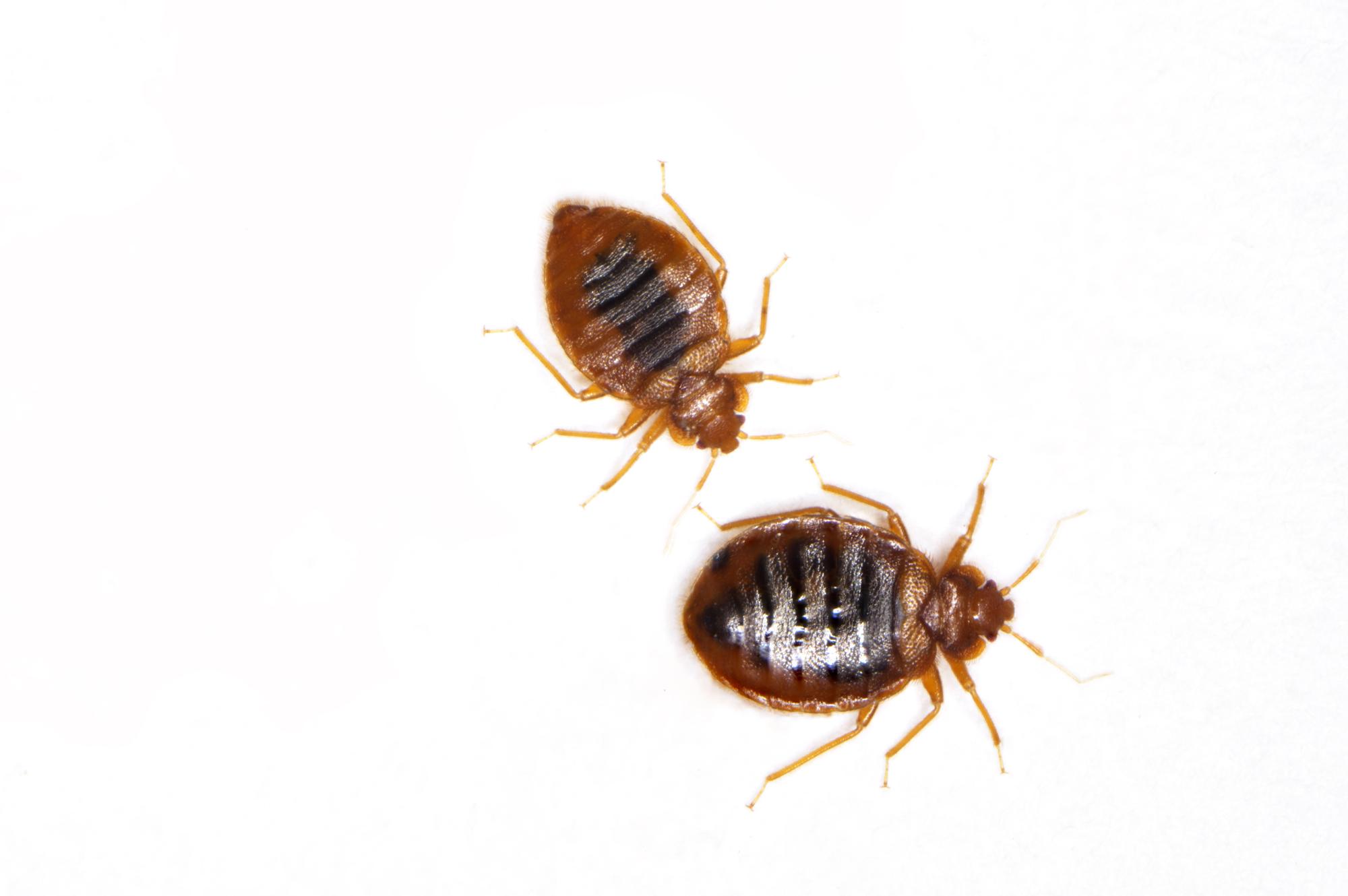 Die stechen im bett tiere Milben erkennen