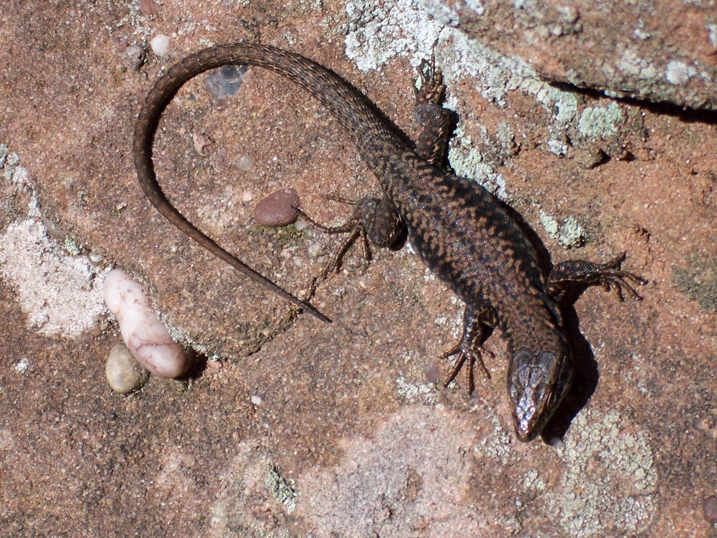 Felsen samt Geröllhalden und Felsköpfen sind sensible Biotope, in denen extrem angepasste Arten wie Mauereidechsen leben. Foto: DAV/S. Reich